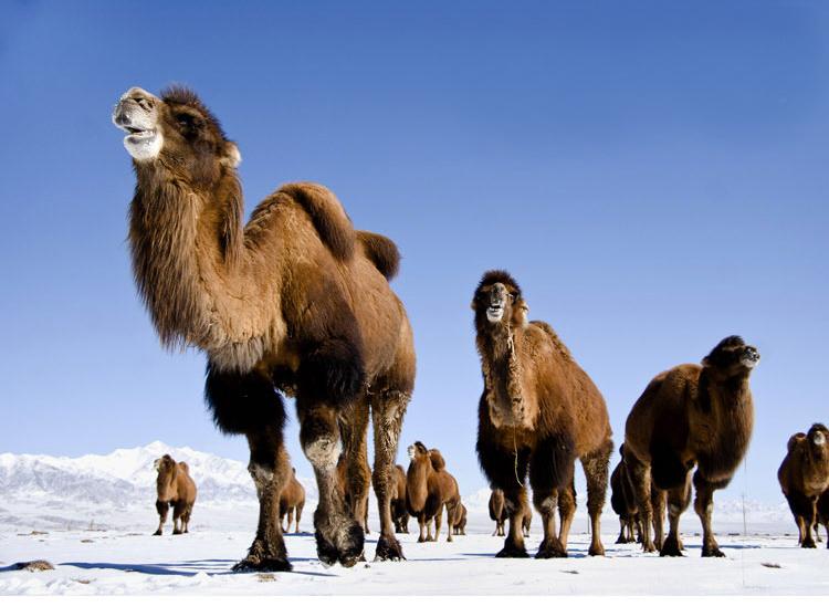 Изделия из верблюжьей шерсти (КНР, Синьцзян-Уйгурский автономный район Китая)